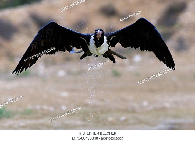 Christmas Island Frigatebird (Fregata andrewsi) female flying after skimming the water for a drink, Christmas Island, Australia