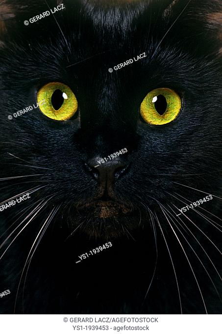 Black Domestic Cat, Close Up of Portrait