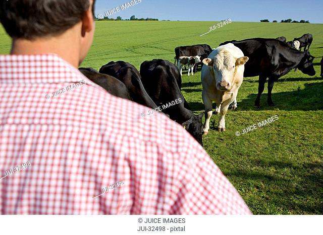 Farmer watching cattle in field