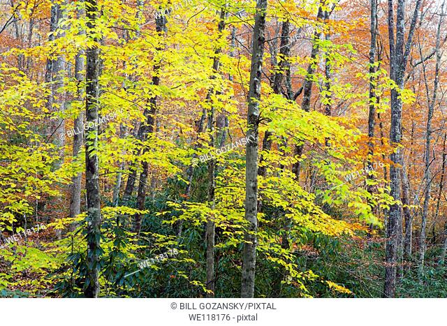 Fall Colors in the Forest - Pisgah National Forest - near Brevard, North Carolina USA