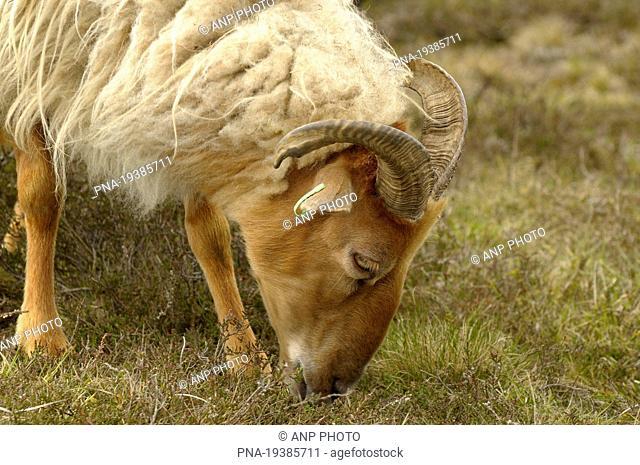 sheep Ovis domesticus - Holtingerveld, Havelte, Drenthe, The Netherlands, Holland, Europe