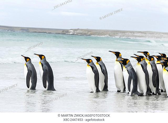 King Penguin (Aptenodytes patagonicus) on the Falkand Islands in the South Atlantic. Group of penguins entering the water