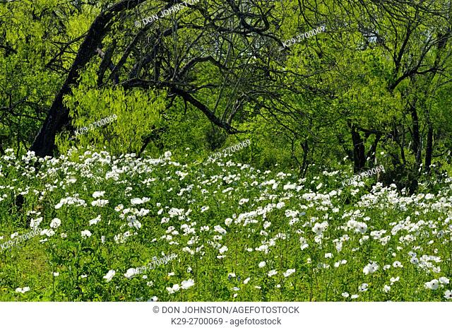 Spring trees and prickly poppies, FM 2504 near Somerset, Texas, USA