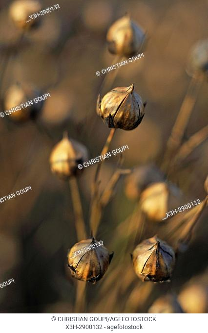 close-up of the capsules containing seeds in a mature flax field, Eure-et-Loir department, Centre-Val de Loire region, France, Europe