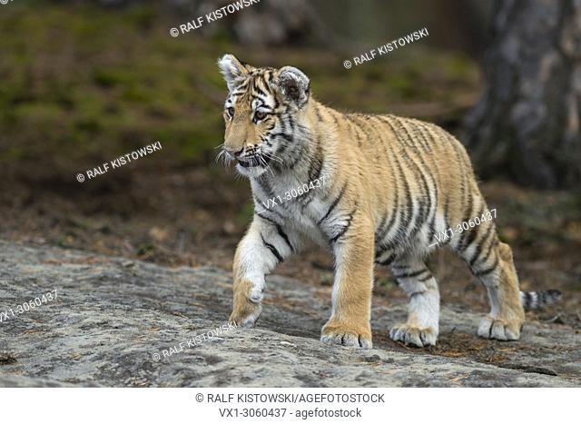 Royal Bengal Tiger ( Panthera tigris ), walking over rocks, on silent paws, full body, frontal side view, young animal, soft light