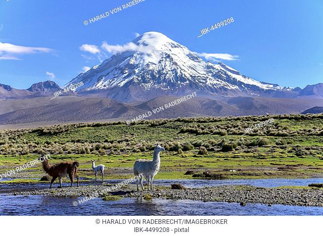 Llamas (lama glama) at river in front of volcano Sajama, covered with snow, Sajama National Park, Altiplano, Bolivia