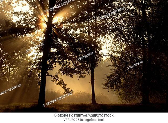 Oak morning, Champoeg State Park, Oregon