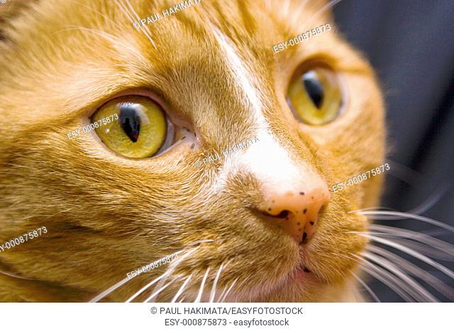 An orange cat looking to the right, close-up of the eye