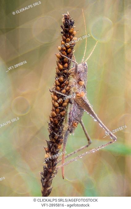 Tettigoniidae, Salata, Piedmont, Italy