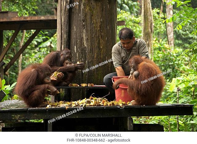 Bornean Orang-utan Pongo pygmaeus adults, on feeding platform with ranger, Sepilok Rehabilitation Centre, Sabah, Borneo, Malaysia