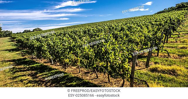 Vineyard Sunrise - Bordeaux Vineyard-France, Aquitaine, Gironde, Europe