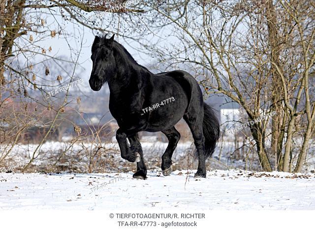 trotting Frisian horse