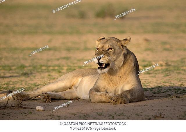 African lion (Panthera leo) -young male, crossing the gravel road, Kgalagadi Transfrontier Park, Kalahari desert, South Africa/Botswana