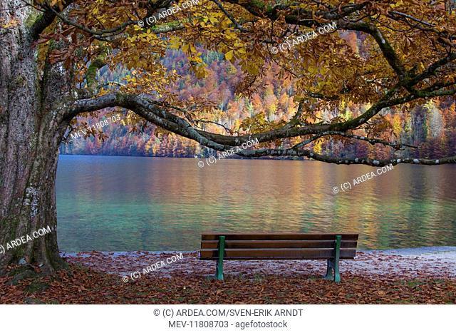 Koenigssee autumn Bench autumn colours K&,xf6;nigssee / Kings lake, Berchtesgaden National Park, Bavaria, Germany Bench autumn colours K& x1f4;nigssee /...