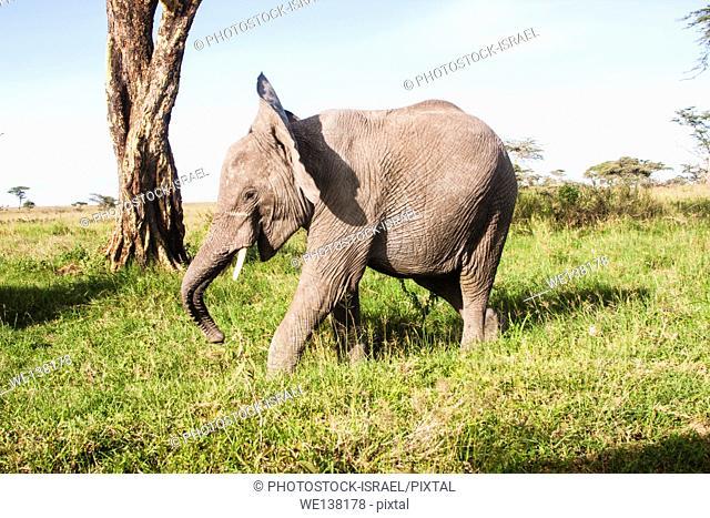 African bush elephant (Loxodonta africana). Photographed in Tanzania