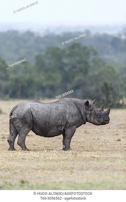 Black rhinoceros or hook-lipped rhinoceros. Diceros bicornis. Kenia. Africa