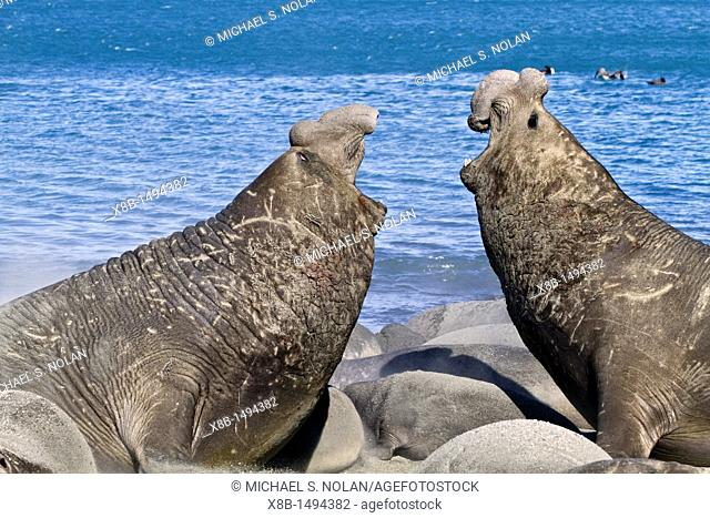 Adult bull southern elephant seals Mirounga leonina fighting for breeding grounds on South Georgia Island in the Southern Ocean  MORE INFO The southern elephant...
