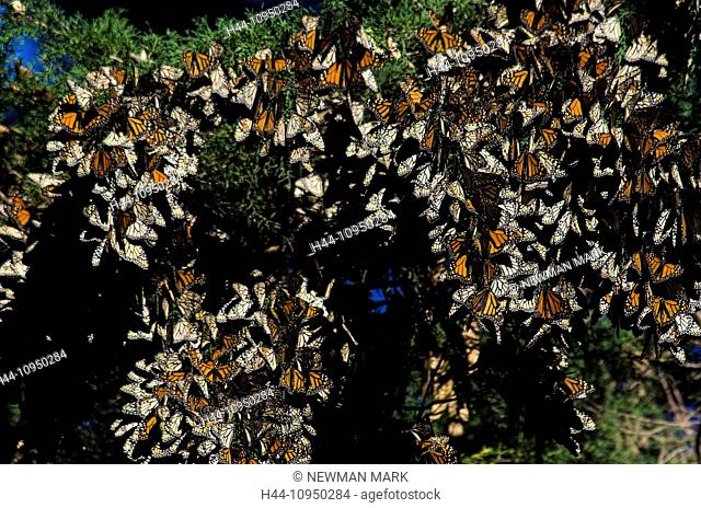 monarch, butterfly, insect, wintering area, Pismo beach, USA, United States, America, California