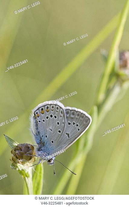 Amanda's Blue, Polyommatus amandus