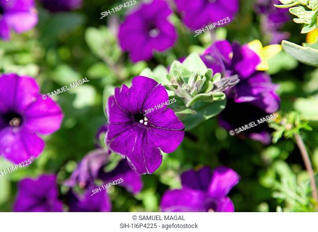 Austria, Tirol, Flowers, Violet Petunia