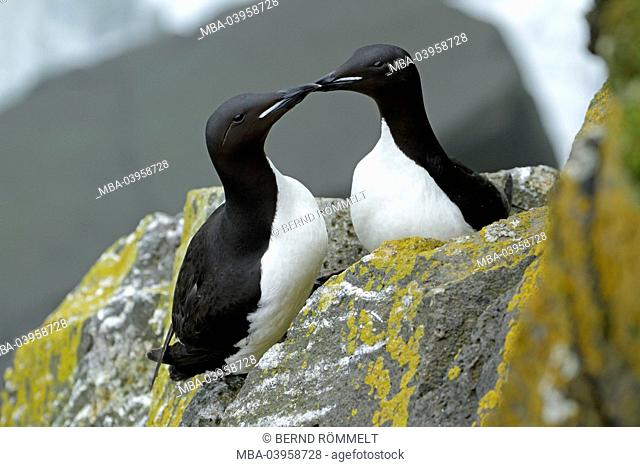 North America, the USA, Alaska, two thick beak guillemots