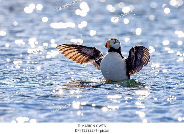 Horned puffin (Fratercula corniculata) preparing to take off along the coast of Kodiak Island, Southwest Alaska, summer