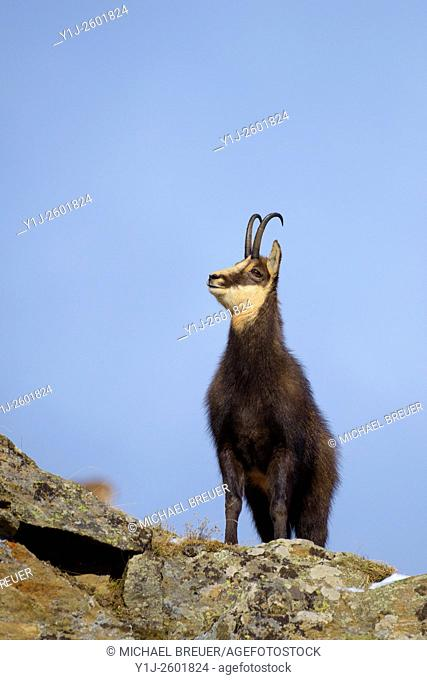Chamois (Rupicapra rupicapra), Male, Gran Paradiso National Park, Alps, Italy, Europe