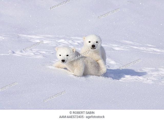 Polar Bear Babies - Manitoba, Canada. cubs