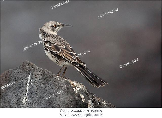 Hood Island Mockingbird - Perched on a rock - At Suarez Point - Esapnola - Galapagos Islands