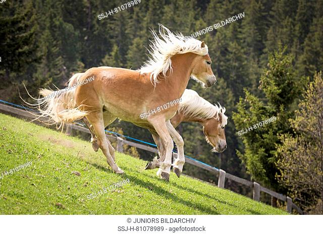 Haflinger Horse. Two adult mares playing on a meadow. South Tyrol, Italy