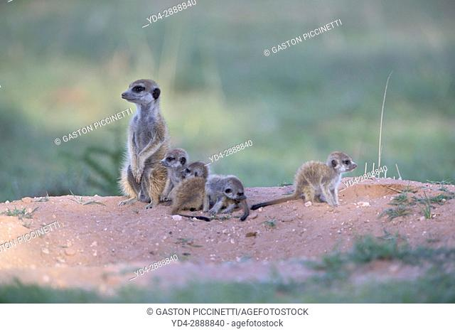 Suricate (Suricata suricatta) - Mother and youngs, Kgalagadi Transfrontier Park, Kalahari desert, South Africa/Botswana