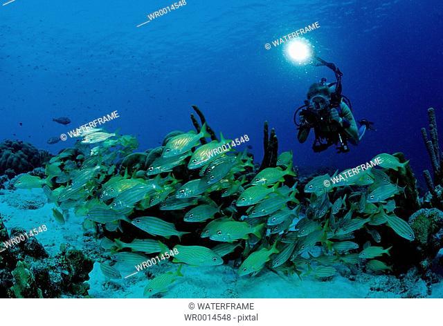 Diver and Schooling Smallmouth Grunt, Haemulon chryargyreum, Caribbean Sea, Bonaire