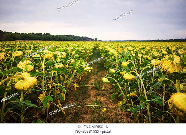 Sunflowers in field, Olonzac, France