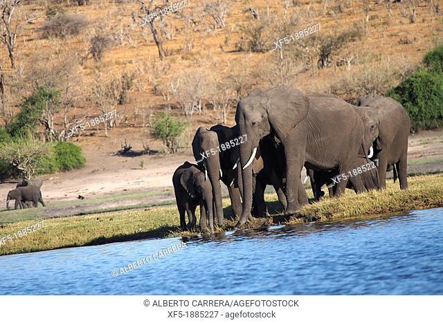 Elephant, Loxodonta africana, Chobe River, Chobe National Park, Botswana, Africa