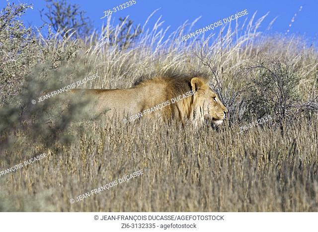 African lion (Panthera leo), adult male in high dry grass, walking at the top of the hill, Kgalagadi Transfrontier Park, Northern Cape, South Africa, Africa