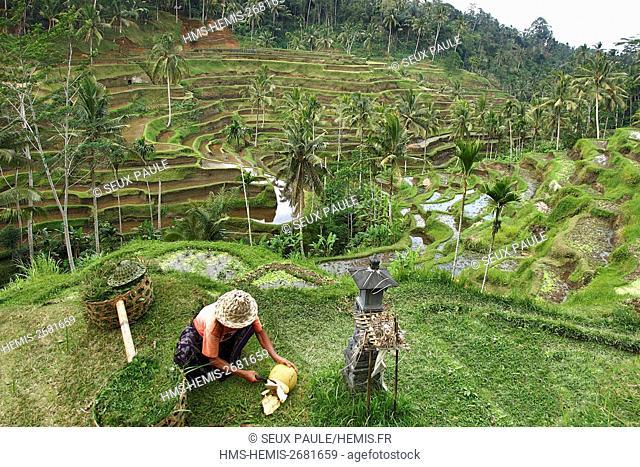 Indonesia, Bali, wonderful rice plantation in Tegallalang
