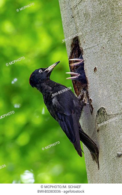 black woodpecker (Dryocopus martius), male feeds chick in the breeding cave, Germany, Baden-Wuerttemberg