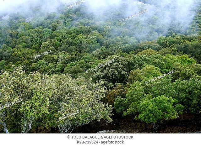 Holm Oak (Quercus ilex), Mola de Planicia, Serra de Tramuntana. Majorca, Balearic Islands, Spain