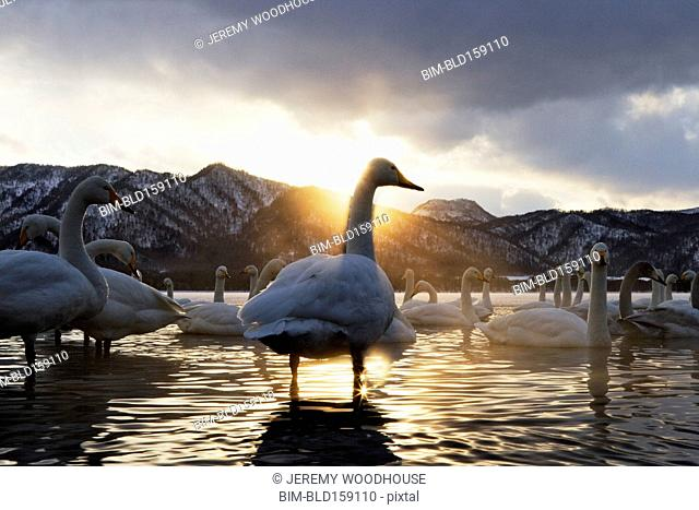 Flock of swans in remote lake