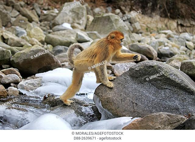 Asia, China, Shaanxi province, Qinling Mountains, Golden Snub-nosed Monkey (Rhinopithecus roxellana), near by a river
