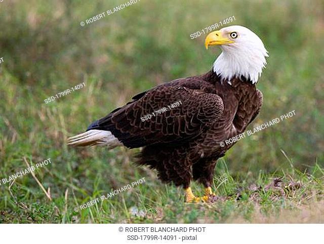 Side profile of a Bald eagle Haliaeetus leucocephalus