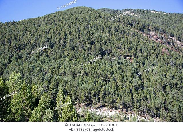 Pyreneean pine (Pinus nigra salzmannii) is a coniferous tree native to Spain, southern France and north Africa. This photo was taken in Fumanya