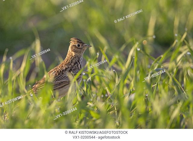 Skylark ( Alauda arvensis ) sitting on the ground in a field of winter weat, typical bird of open fields, wildlife in spring, Europe