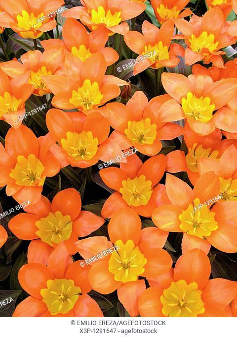 Keukenhof gardens in Lisse, Netherlands Tulips Tulipa hybr Floral exhibition New variety, netherland