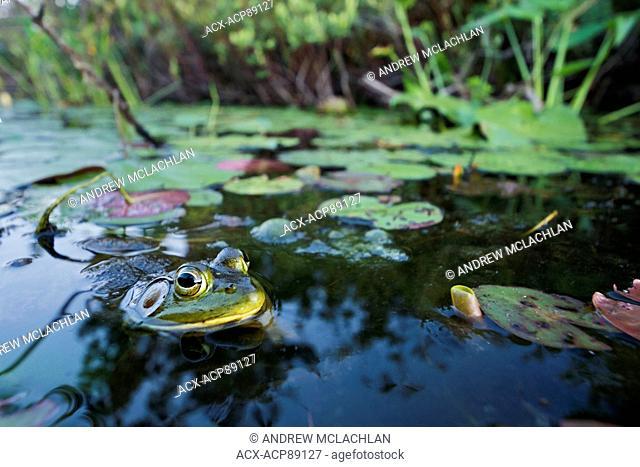 Bullfrog (Rana catesbeiana) in wetland on Horseshoe Lake in Muskoka near Rosseau, Ontario, Canada