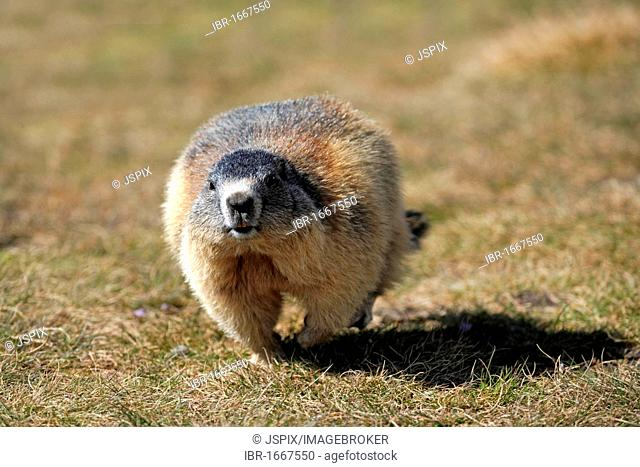 Alpine Marmot (Marmota marmota), adult, walking or running, Grossglockner Mountain Range, Hohe Tauern National Park, Austria, Alps, Europe