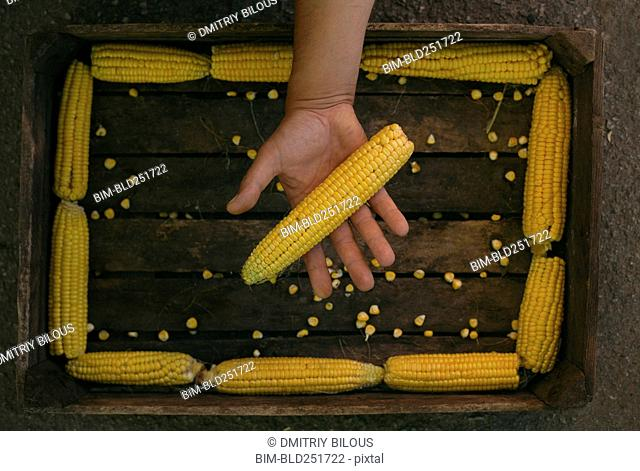 Hand holding corn on cob