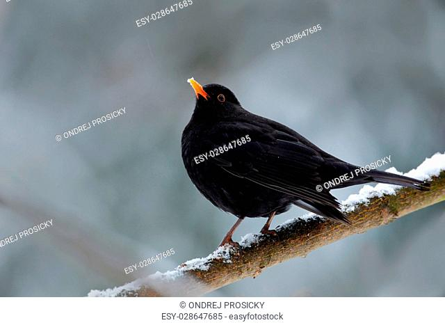 Black bird Common blackbird, Turdus merula, sitting on the branch