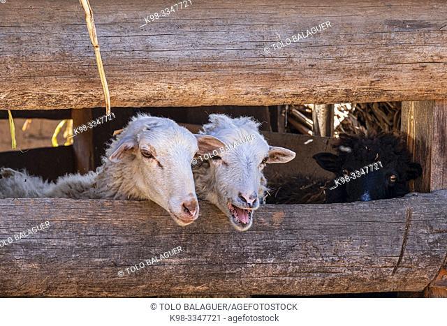 granja de corderos, proyecto financiado con microcredito, Yacón, San Sebastián Lemoa, municipio de Chichicastenango , Quiché, Guatemala, America Central