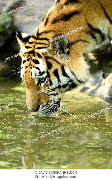 Siberian tiger drinking water, close-up
